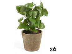 albahaca plant set